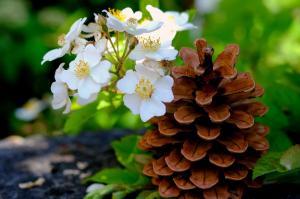 web pine-cones-2344431 1920